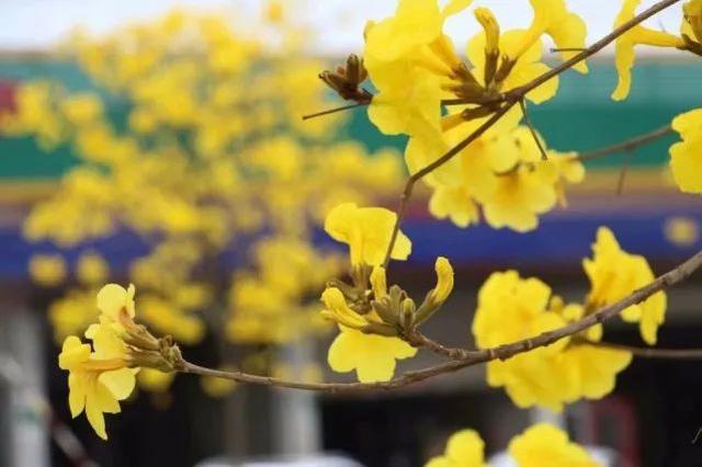 巴西国花在惠州绽放,美得不要不要的 阳光,铃木,巴西,国花,惠州 第1张图片