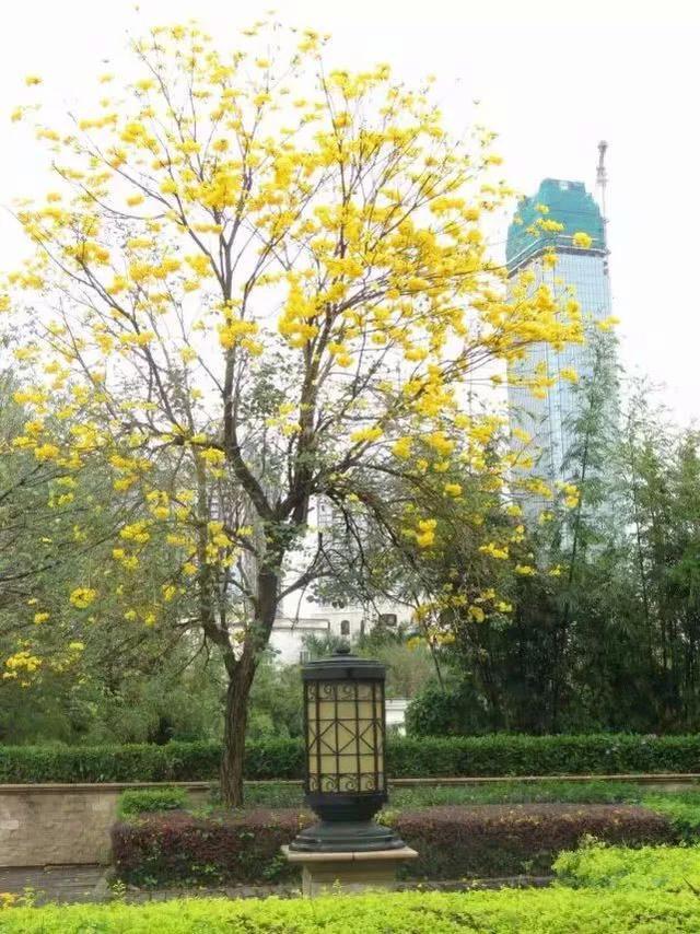 巴西国花在惠州绽放,美得不要不要的 阳光,铃木,巴西,国花,惠州 第5张图片
