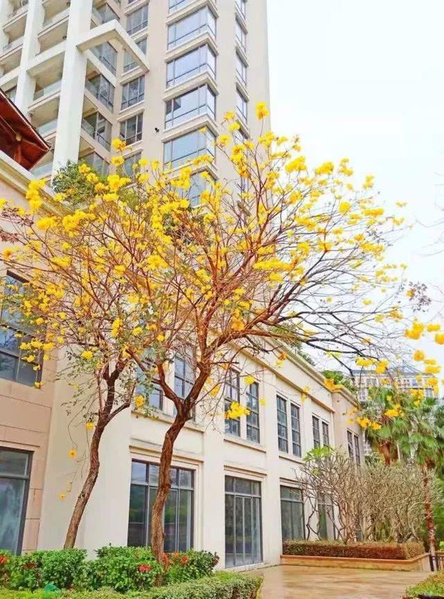巴西国花在惠州绽放,美得不要不要的 阳光,铃木,巴西,国花,惠州 第6张图片