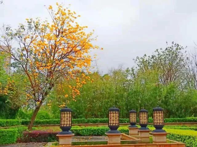 巴西国花在惠州绽放,美得不要不要的 阳光,铃木,巴西,国花,惠州 第8张图片