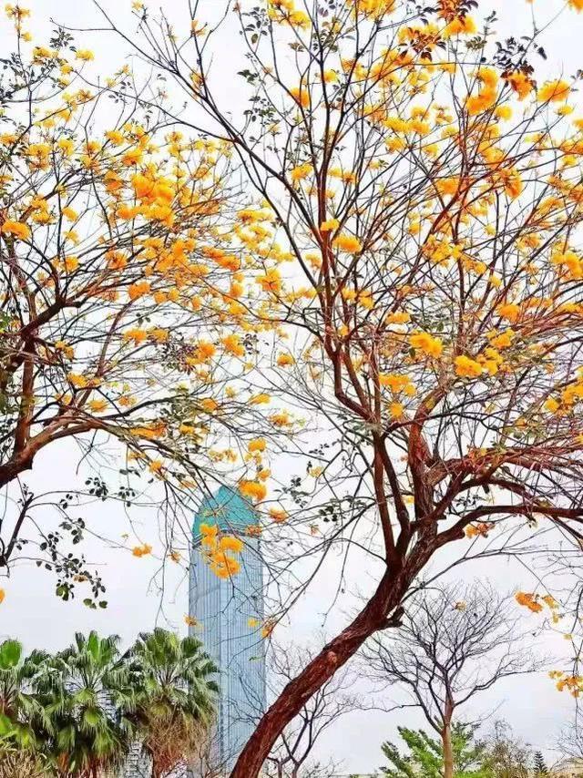 巴西国花在惠州绽放,美得不要不要的 阳光,铃木,巴西,国花,惠州 第7张图片