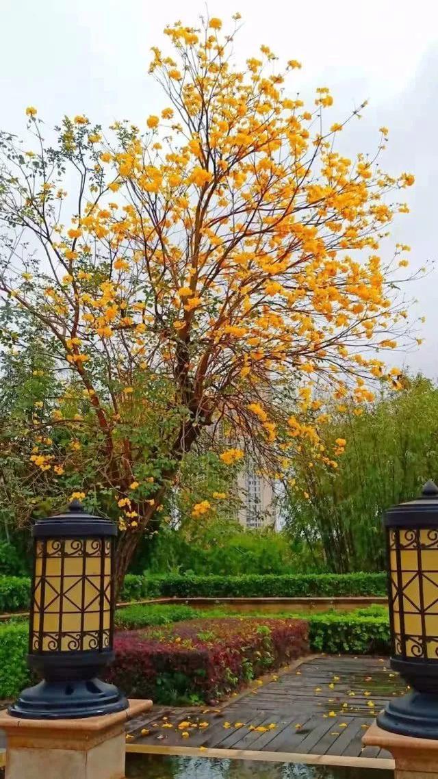 巴西国花在惠州绽放,美得不要不要的 阳光,铃木,巴西,国花,惠州 第9张图片