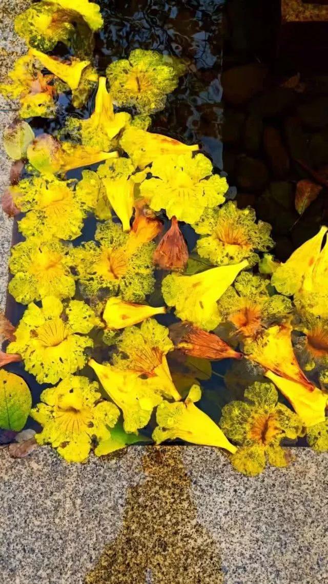 巴西国花在惠州绽放,美得不要不要的 阳光,铃木,巴西,国花,惠州 第10张图片