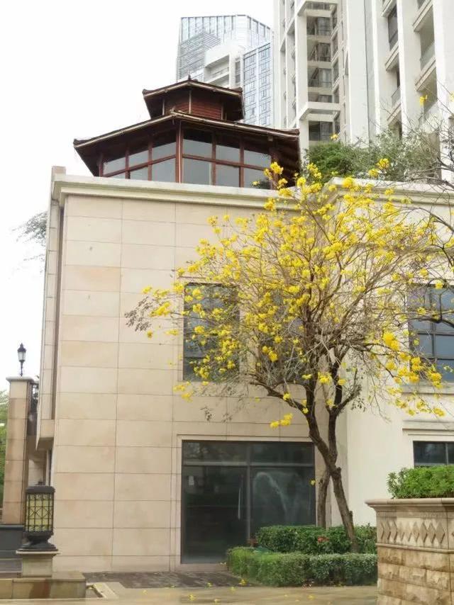 巴西国花在惠州绽放,美得不要不要的 阳光,铃木,巴西,国花,惠州 第11张图片