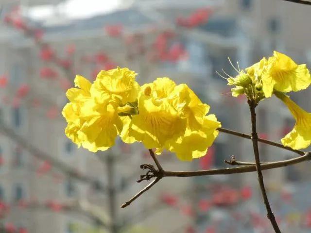 巴西国花在惠州绽放,美得不要不要的 阳光,铃木,巴西,国花,惠州 第16张图片
