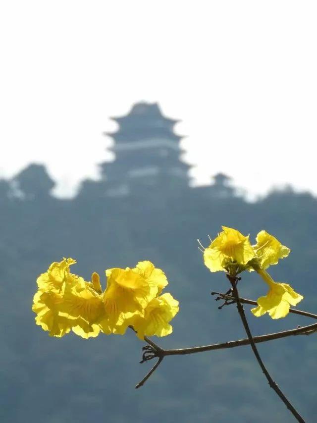巴西国花在惠州绽放,美得不要不要的 阳光,铃木,巴西,国花,惠州 第17张图片