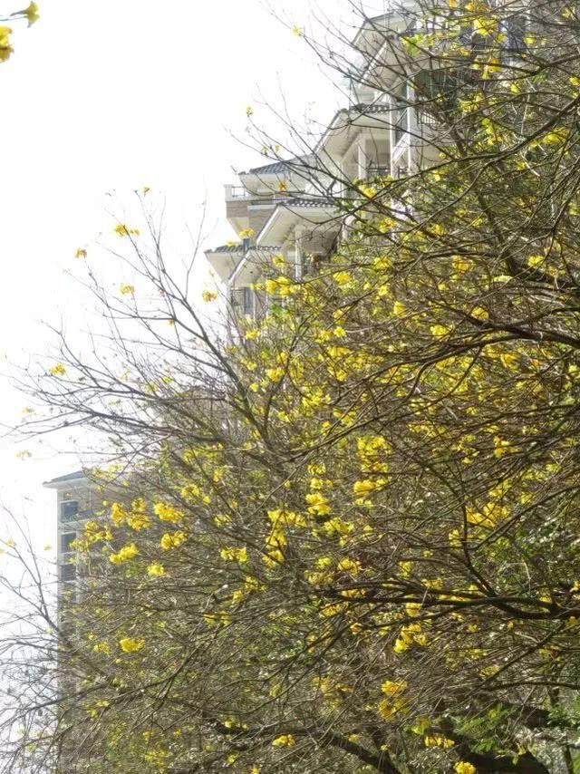 巴西国花在惠州绽放,美得不要不要的 阳光,铃木,巴西,国花,惠州 第18张图片