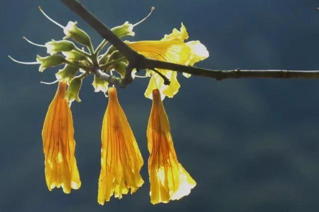 巴西国花在惠州绽放,美得不要不要的 阳光,铃木,巴西,国花,惠州 第21张图片