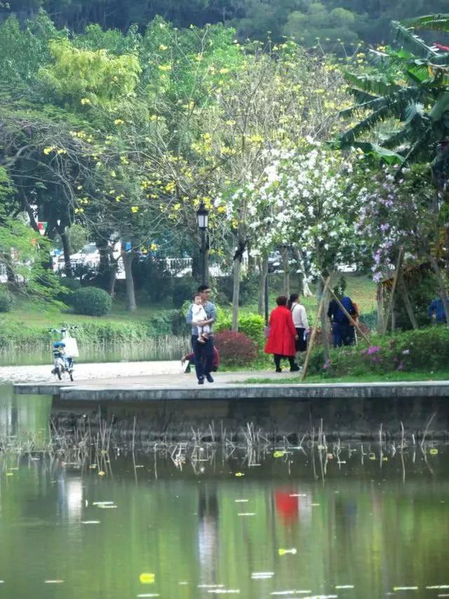 巴西国花在惠州绽放,美得不要不要的 阳光,铃木,巴西,国花,惠州 第20张图片