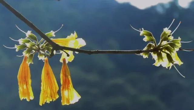 巴西国花在惠州绽放,美得不要不要的 阳光,铃木,巴西,国花,惠州 第22张图片