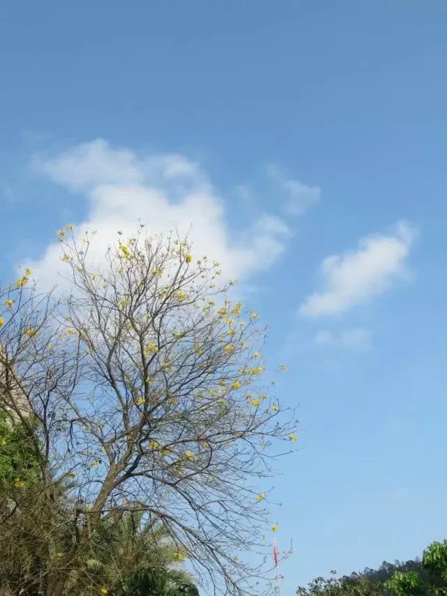 巴西国花在惠州绽放,美得不要不要的 阳光,铃木,巴西,国花,惠州 第23张图片