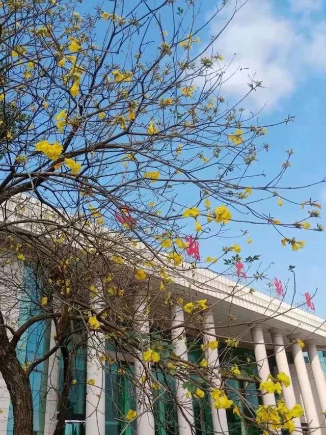 巴西国花在惠州绽放,美得不要不要的 阳光,铃木,巴西,国花,惠州 第24张图片