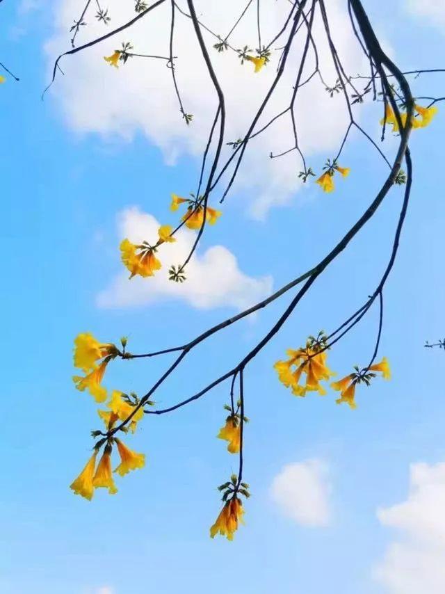 巴西国花在惠州绽放,美得不要不要的 阳光,铃木,巴西,国花,惠州 第26张图片