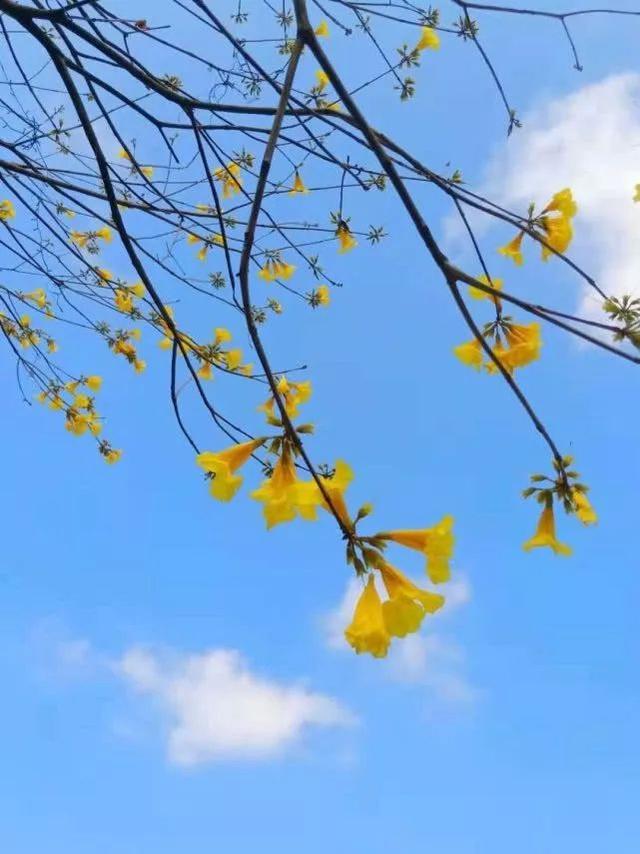 巴西国花在惠州绽放,美得不要不要的 阳光,铃木,巴西,国花,惠州 第28张图片