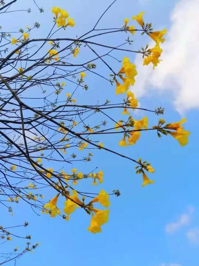 巴西国花在惠州绽放,美得不要不要的 阳光,铃木,巴西,国花,惠州 第27张图片