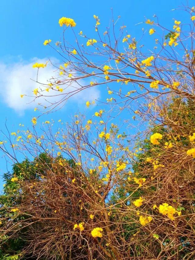 巴西国花在惠州绽放,美得不要不要的 阳光,铃木,巴西,国花,惠州 第30张图片
