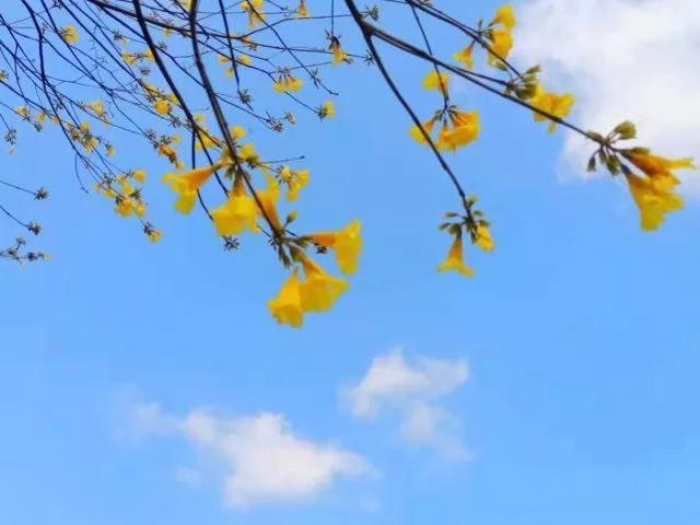 巴西国花在惠州绽放,美得不要不要的 阳光,铃木,巴西,国花,惠州 第29张图片