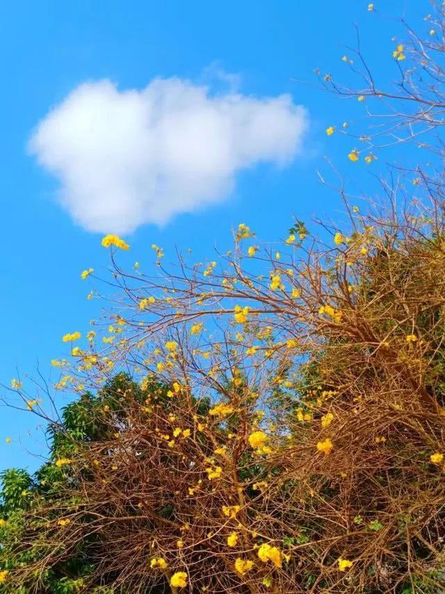 巴西国花在惠州绽放,美得不要不要的 阳光,铃木,巴西,国花,惠州 第32张图片