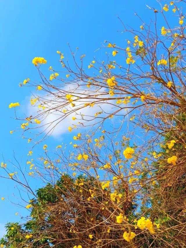 巴西国花在惠州绽放,美得不要不要的 阳光,铃木,巴西,国花,惠州 第31张图片