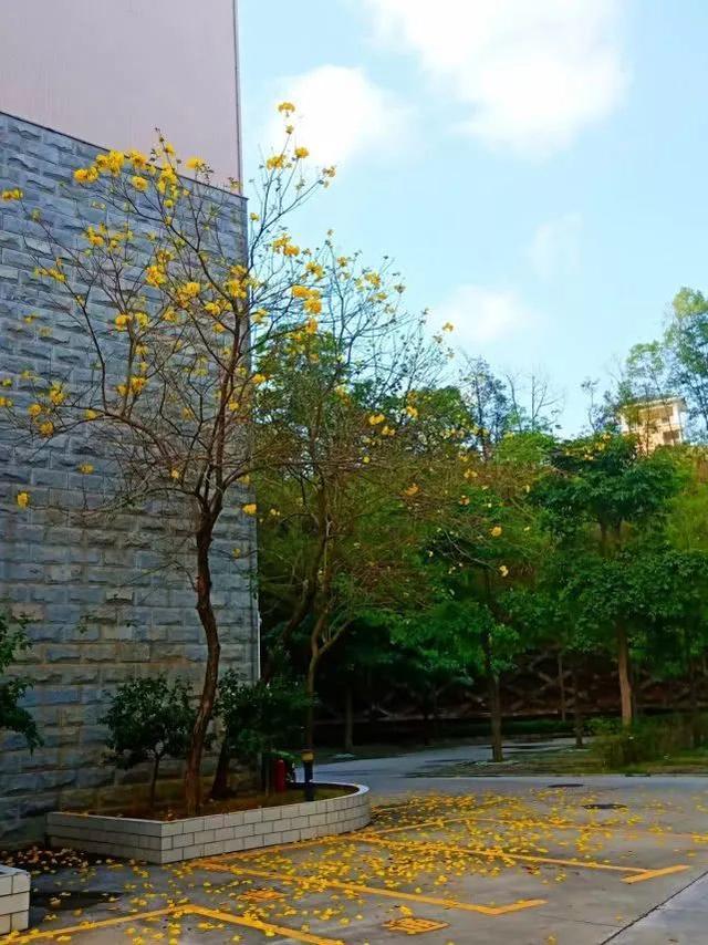 巴西国花在惠州绽放,美得不要不要的 阳光,铃木,巴西,国花,惠州 第35张图片