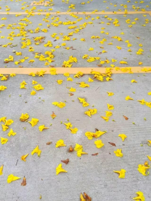 巴西国花在惠州绽放,美得不要不要的 阳光,铃木,巴西,国花,惠州 第34张图片