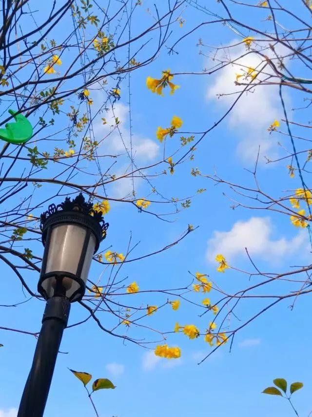 巴西国花在惠州绽放,美得不要不要的 阳光,铃木,巴西,国花,惠州 第36张图片