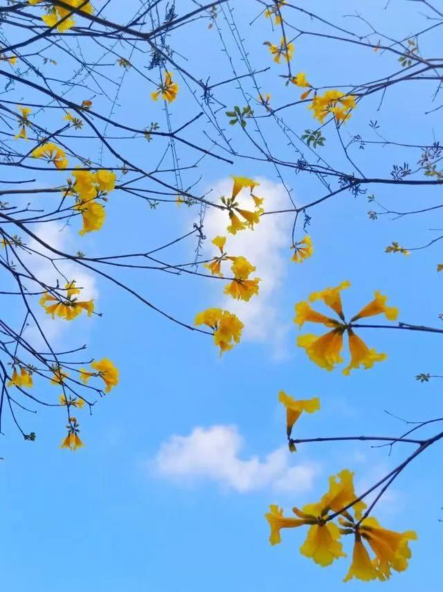 巴西国花在惠州绽放,美得不要不要的 阳光,铃木,巴西,国花,惠州 第37张图片