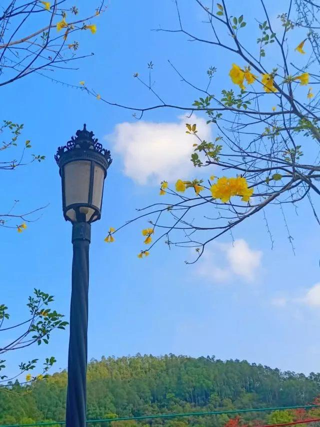 巴西国花在惠州绽放,美得不要不要的 阳光,铃木,巴西,国花,惠州 第41张图片