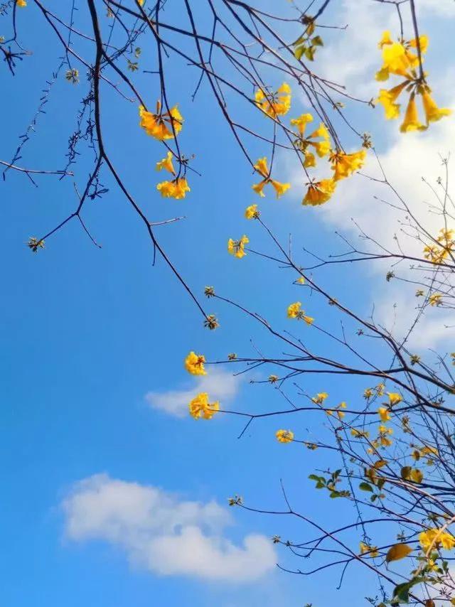 巴西国花在惠州绽放,美得不要不要的 阳光,铃木,巴西,国花,惠州 第38张图片