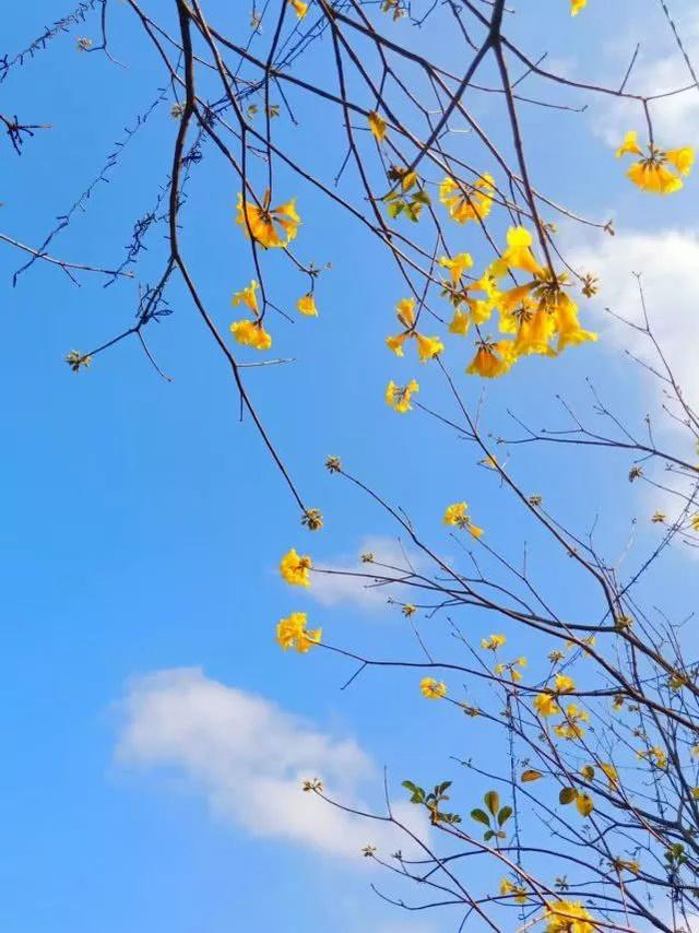 巴西国花在惠州绽放,美得不要不要的 阳光,铃木,巴西,国花,惠州 第39张图片