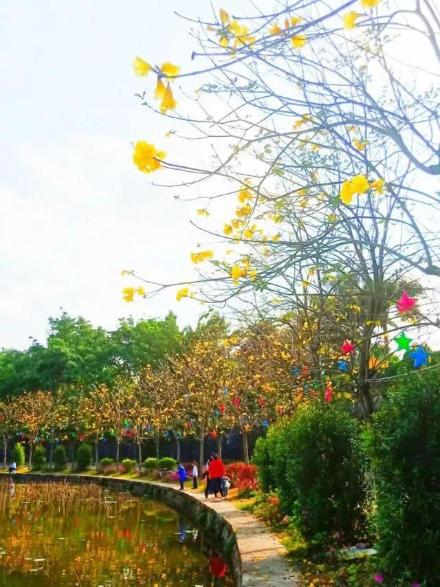 巴西国花在惠州绽放,美得不要不要的 阳光,铃木,巴西,国花,惠州 第40张图片