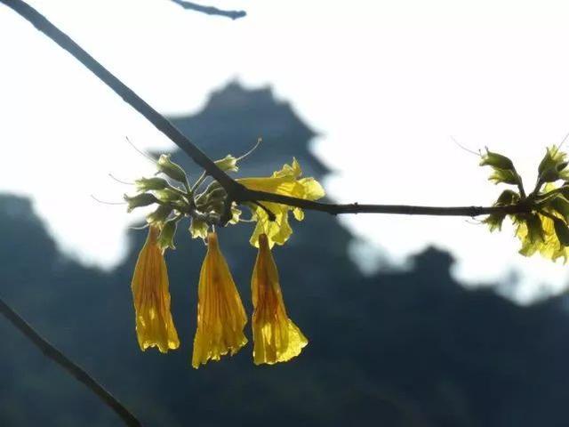巴西国花在惠州绽放,美得不要不要的 阳光,铃木,巴西,国花,惠州 第42张图片
