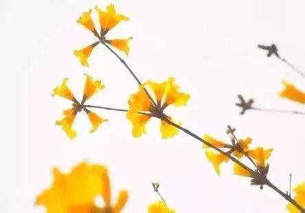 巴西国花在惠州绽放,美得不要不要的 阳光,铃木,巴西,国花,惠州 第45张图片