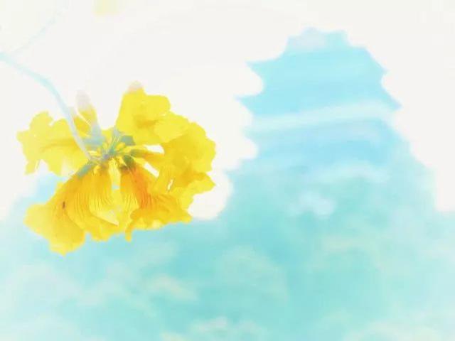 巴西国花在惠州绽放,美得不要不要的 阳光,铃木,巴西,国花,惠州 第44张图片
