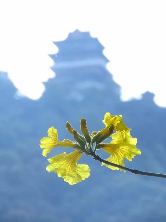 巴西国花在惠州绽放,美得不要不要的 阳光,铃木,巴西,国花,惠州 第43张图片