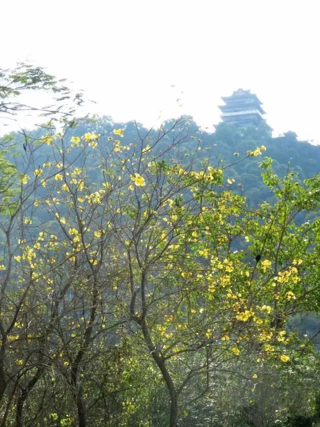 巴西国花在惠州绽放,美得不要不要的 阳光,铃木,巴西,国花,惠州 第47张图片