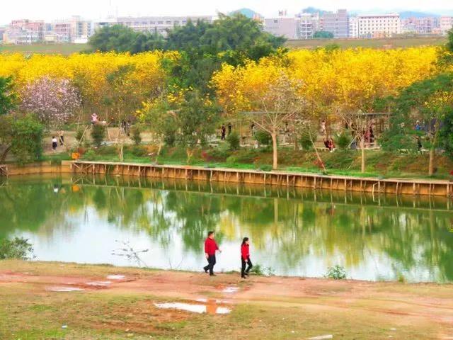 巴西国花在惠州绽放,美得不要不要的 阳光,铃木,巴西,国花,惠州 第48张图片
