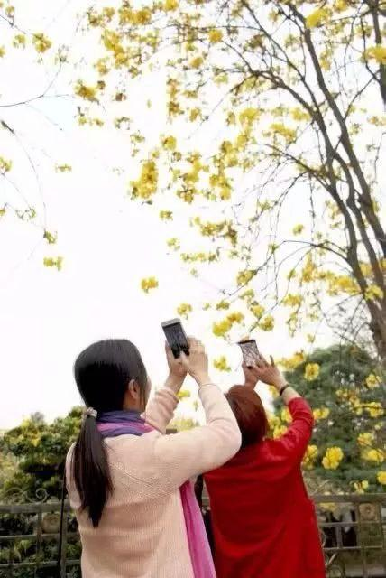 巴西国花在惠州绽放,美得不要不要的 阳光,铃木,巴西,国花,惠州 第49张图片