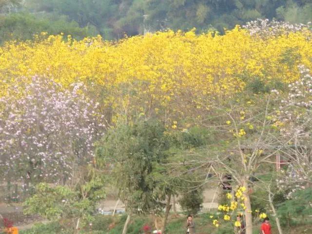巴西国花在惠州绽放,美得不要不要的 阳光,铃木,巴西,国花,惠州 第50张图片