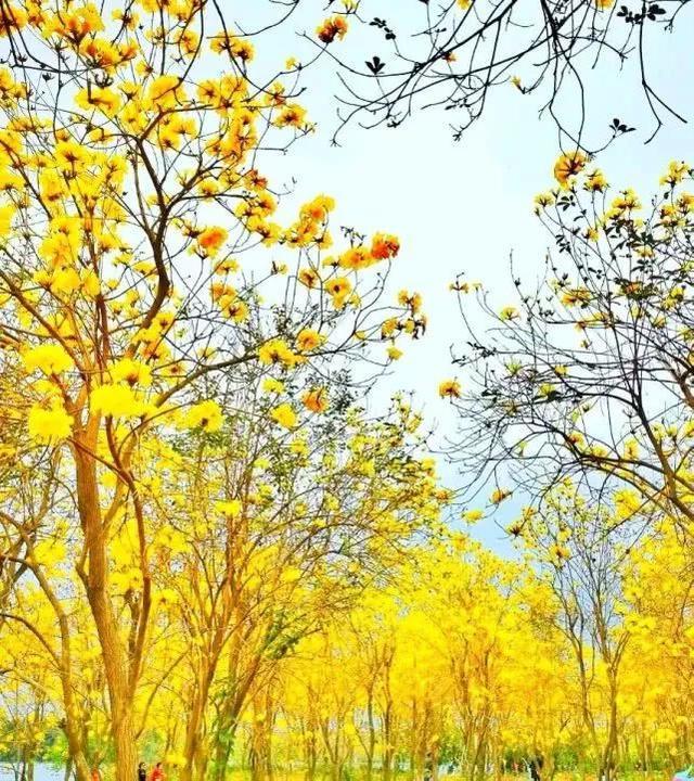 巴西国花在惠州绽放,美得不要不要的 阳光,铃木,巴西,国花,惠州 第51张图片