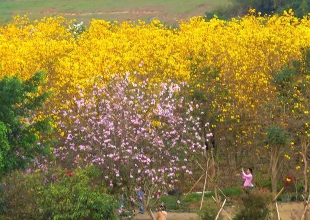 巴西国花在惠州绽放,美得不要不要的 阳光,铃木,巴西,国花,惠州 第52张图片