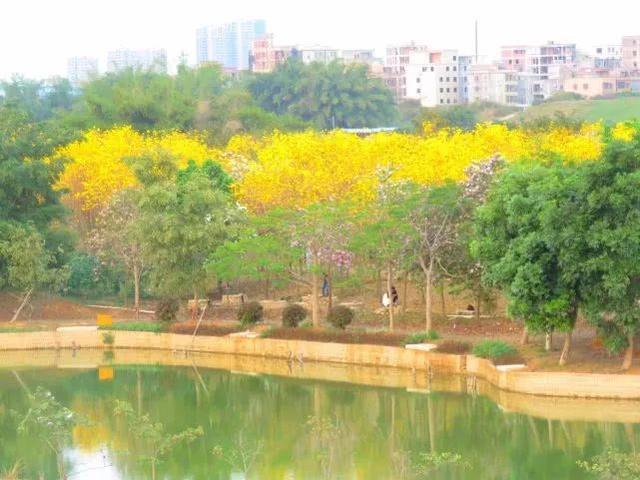 巴西国花在惠州绽放,美得不要不要的 阳光,铃木,巴西,国花,惠州 第54张图片