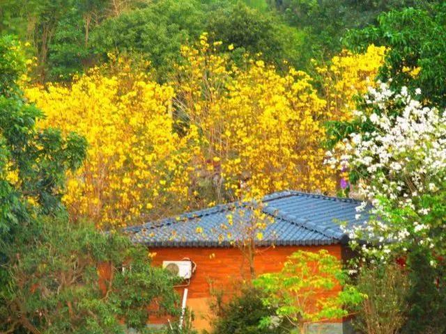 巴西国花在惠州绽放,美得不要不要的 阳光,铃木,巴西,国花,惠州 第53张图片