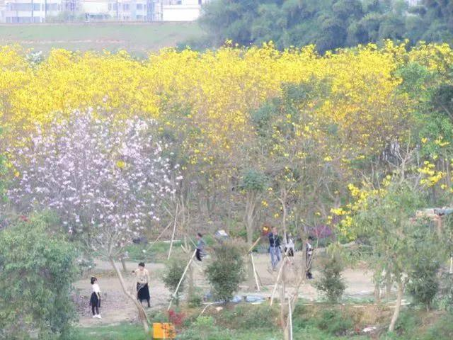 巴西国花在惠州绽放,美得不要不要的 阳光,铃木,巴西,国花,惠州 第55张图片