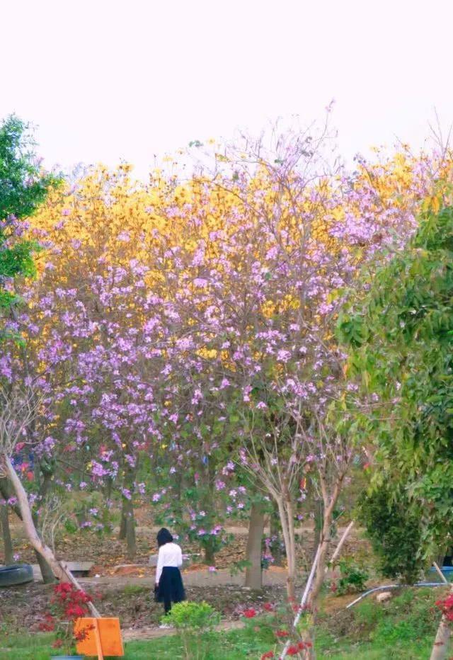巴西国花在惠州绽放,美得不要不要的 阳光,铃木,巴西,国花,惠州 第56张图片