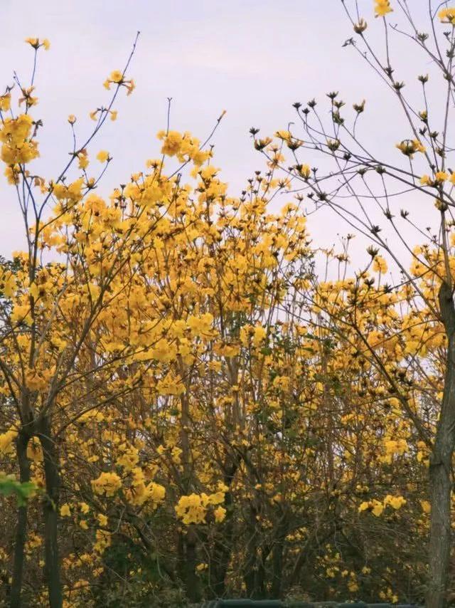 巴西国花在惠州绽放,美得不要不要的 阳光,铃木,巴西,国花,惠州 第57张图片