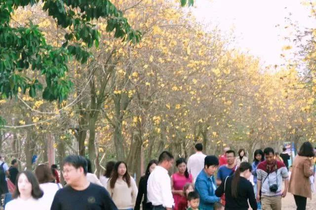 巴西国花在惠州绽放,美得不要不要的 阳光,铃木,巴西,国花,惠州 第58张图片