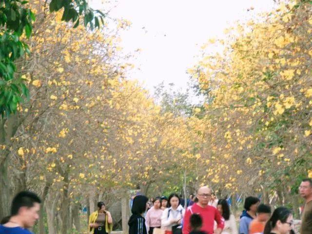 巴西国花在惠州绽放,美得不要不要的 阳光,铃木,巴西,国花,惠州 第60张图片