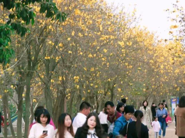 巴西国花在惠州绽放,美得不要不要的 阳光,铃木,巴西,国花,惠州 第59张图片