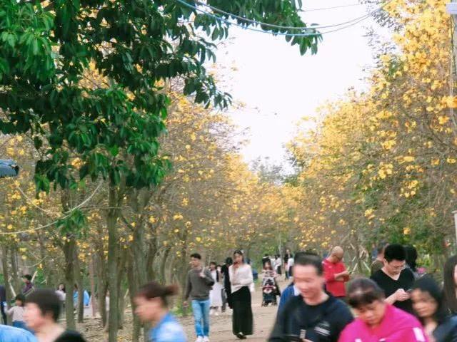 巴西国花在惠州绽放,美得不要不要的 阳光,铃木,巴西,国花,惠州 第63张图片